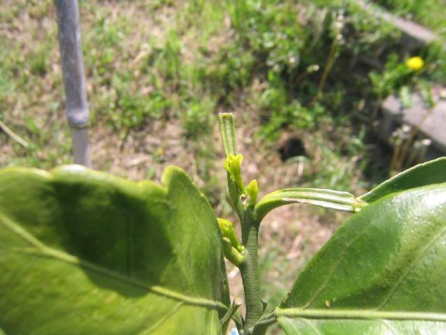 柑橘類の新芽