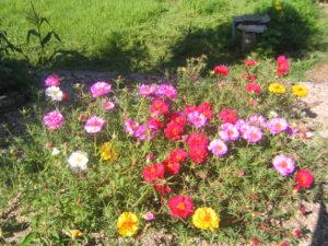 マツバボタンの花