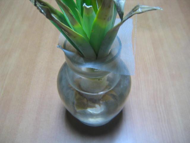 パイナップルの水耕栽培に挑戦