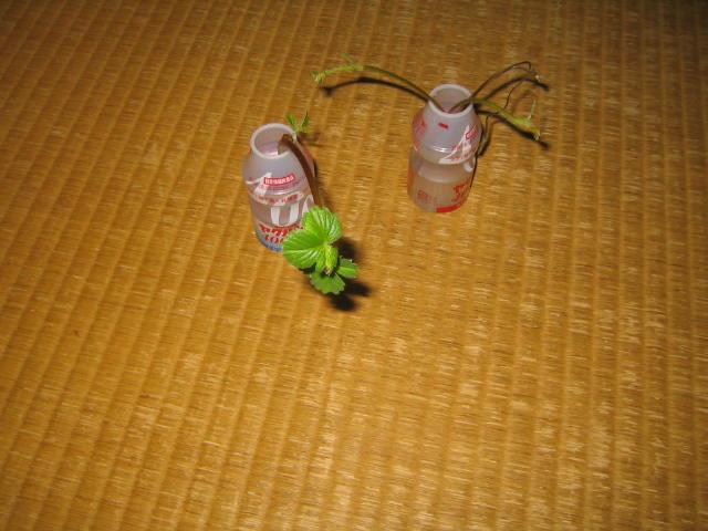 イチゴのランナーを水にさしていたら葉っぱが出てきた