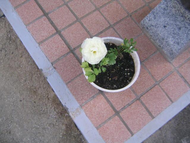 ラナンキュラス開花