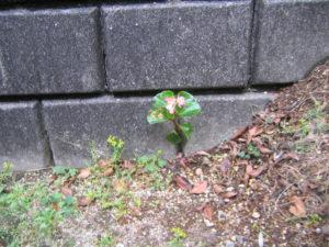 壁の隙間からベゴニア