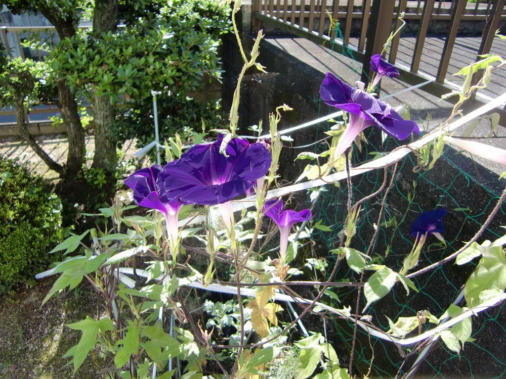 アサガオがたくさん咲きました
