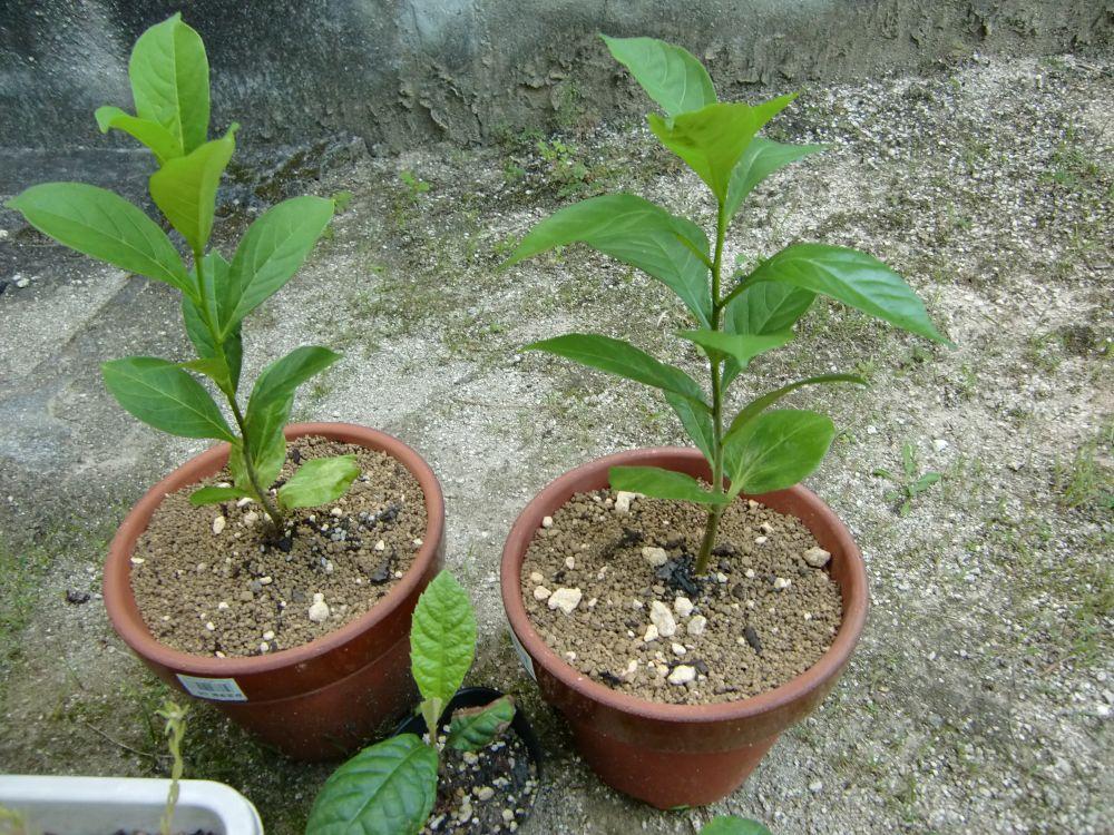 バオバブの植え替え