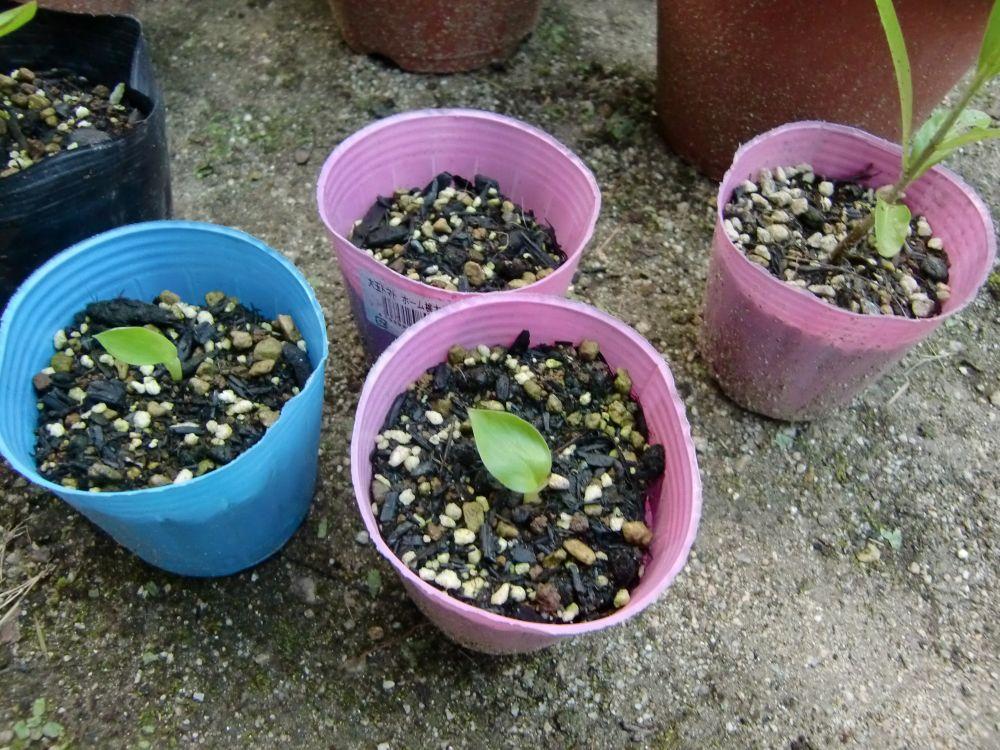 ピンクバナナの発芽