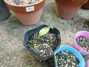 ピンクバナナ発芽
