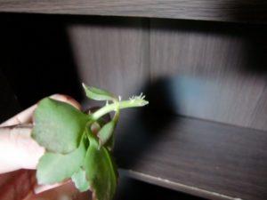 カランコエの挿し芽