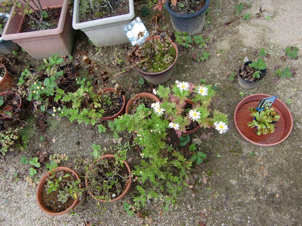 去年植えた小菊が咲き始めました