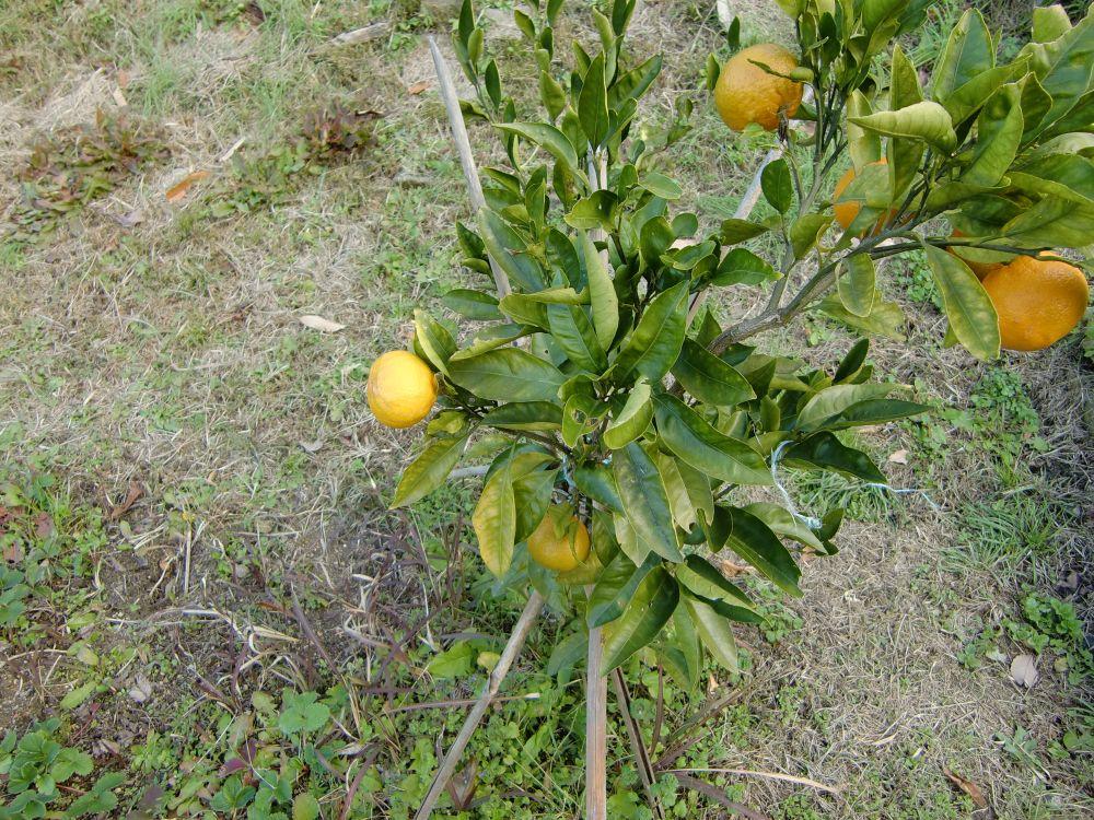 柑橘類を試しに収穫