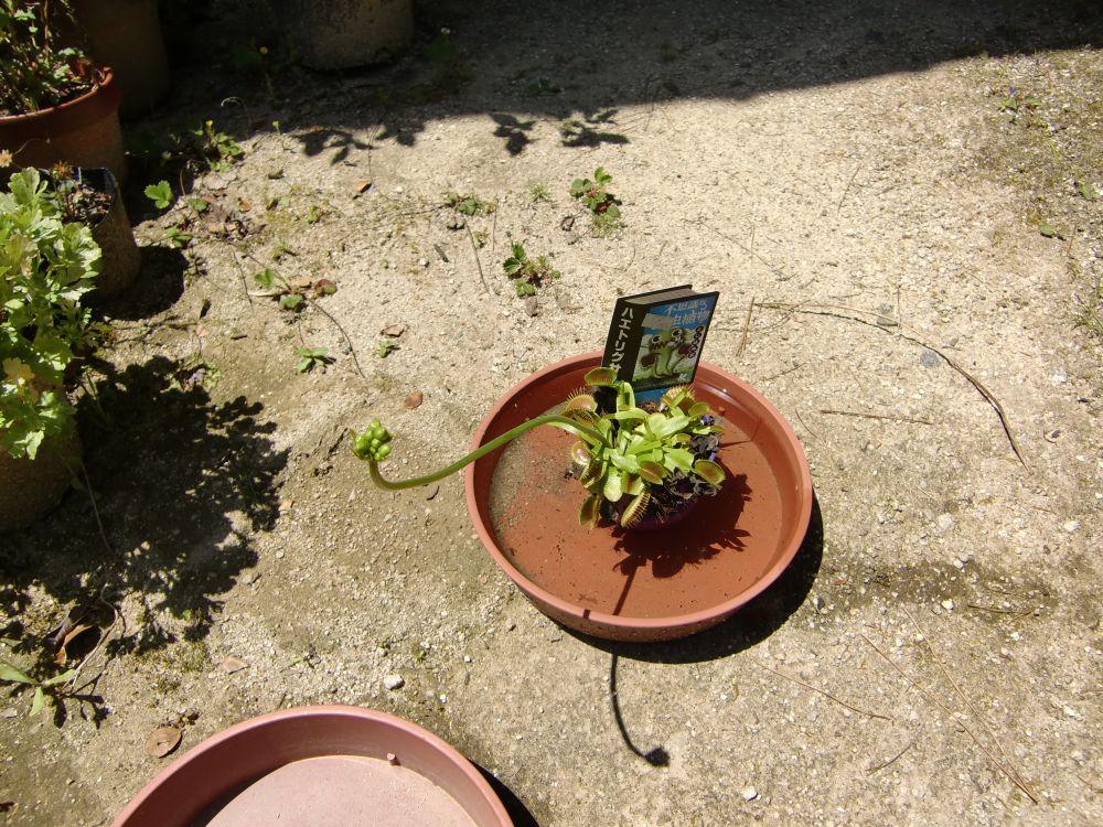 ハエトリグサの花芽のようなものが伸びる