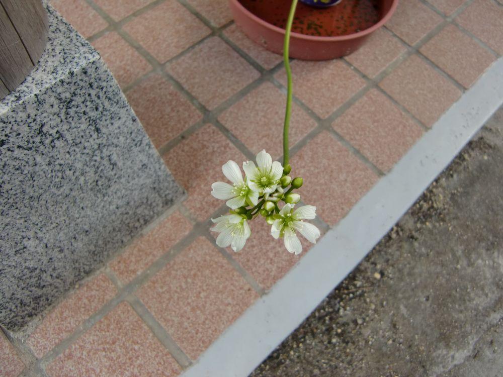 ハエトリグサの花が咲きました