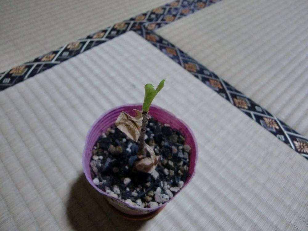 バオバブの苗が…