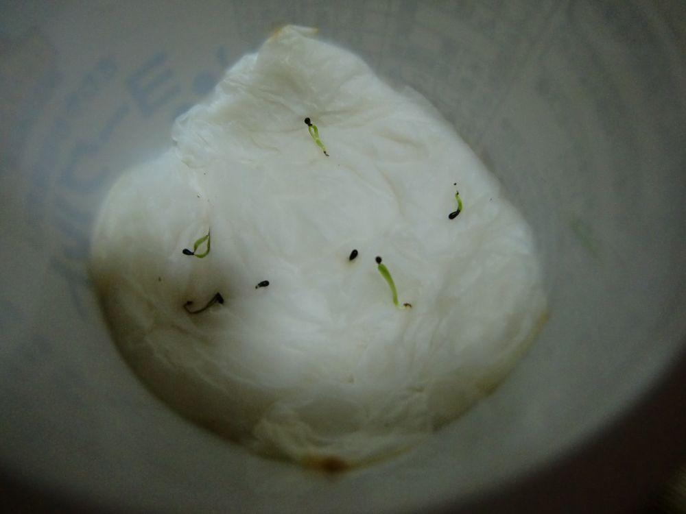 ハエトリグサの発芽