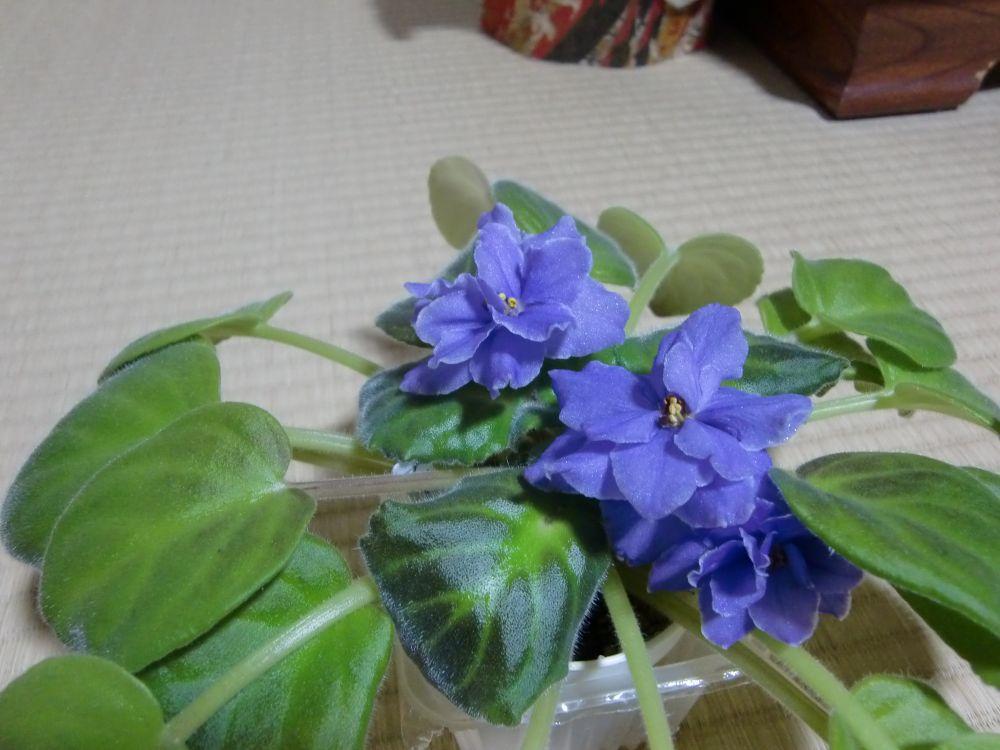 セントポーリアの花