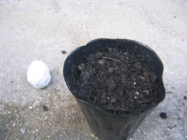 アボカドの種を植える