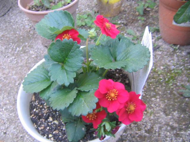 ローズベリー・レッドの花