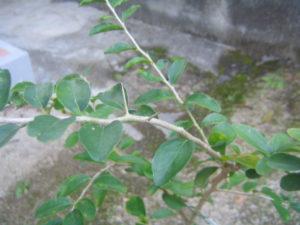 ケイアップルの苗木
